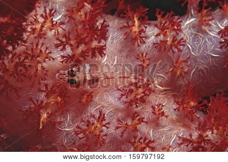 Wolf goby (luposicya lupus),camouflaged among soft coral