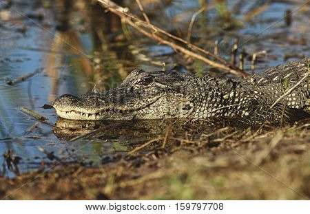 Alligator (Alligator mississippiensis) in swamp