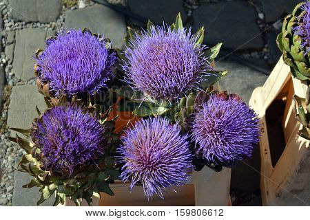 beautiful lilac flowers of artichokes on the market
