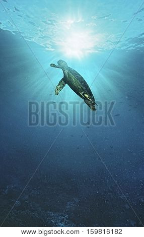 Raja Ampat, Indonesia, Pacific Ocean, hawksbill turtle (Eretmochelys imbricata) swimming in sunbeams shining through water surface, low angle view