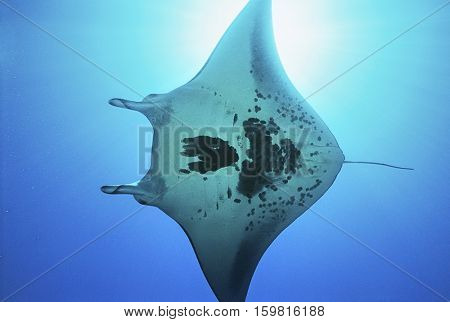 Raja Ampat, Indonesia, Pacific Ocean, manta ray (Manta birostris), view from below