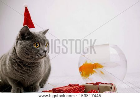 Busy British Shorthair Cat In Red Christmas Hat Sits Before Aquarium With Empty Card On It
