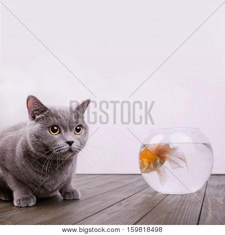 Burly British Shorthair Sits On Wooden Floor Before Aquarium With Golden Fish