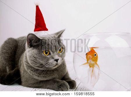 Beautiful Grey British Shorthair Cat In Red Christmas Hat Looks At  Golden Fish In Aquarium