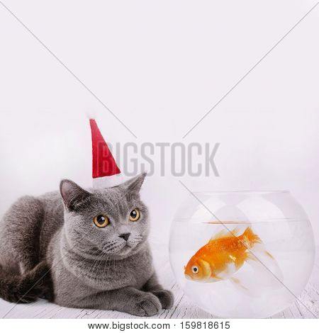Beautiful Grey British Shorthair Cat In Red Christmas Hat Sits On The Floor Before Aquarium With Gol