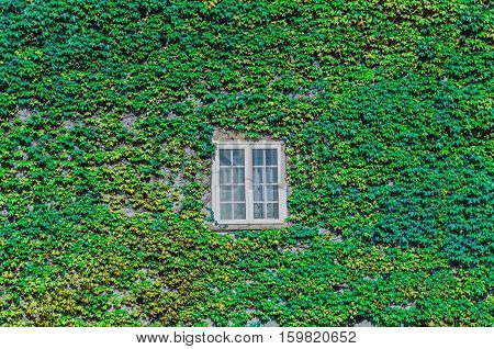 Green Ivy Creeper On A House Wall