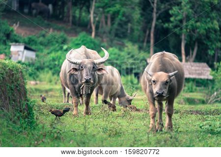 Thai Buffalo walk over the field while looking at photographer Original agriculture use buffalo plow the field.