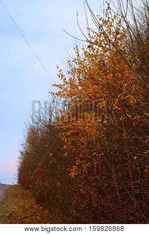 Autumn country road and yellow birch on side