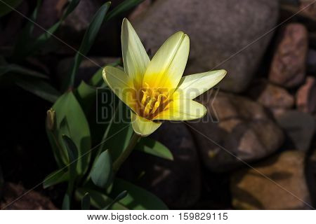 Close-up of yellow tulip flower in the spring garden. Photography of nature