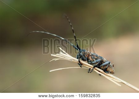 The Beetle barbel. A bug with long antennae on a dry twig. Macro.