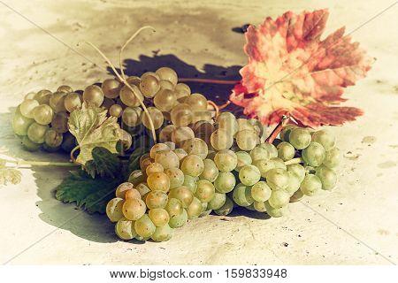 White organic grape on vine branch. Wine making concept in retro style
