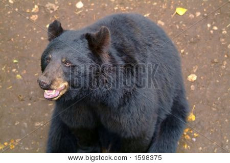 Happy Black Bear