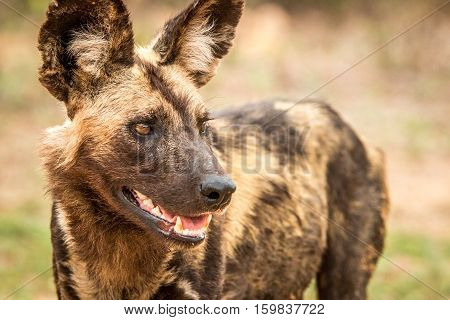 Side Profile Of An African Wild Dog In The Kruger National Park, South Africa.rican Wild Dog In The