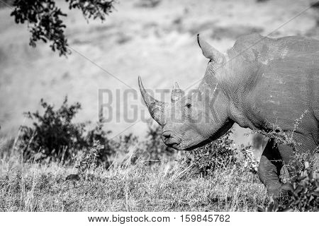 Side Profile Of A White Rhino In The Kruger National Park, South Africa.