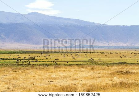 Wild animals walks and eat in the Ngorongoro crater in Tanzania, Africa.