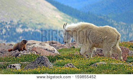 A mountain goat encounters a marmot on Mount Evans, Colorado.
