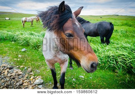 Painted, multi-toned coloured horse comes up close to camera.  Lush green field of grass, overcast day, horse's mane blows in the breeze.