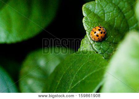 Orange black spotted ladybug standing still on green leaf