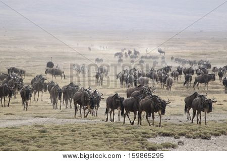 wildebeest in Ngorongoro Conservation Area, a protected area and a World Heritage Site located 180 km west of Arusha in the Crater Highlands area of Tanzania