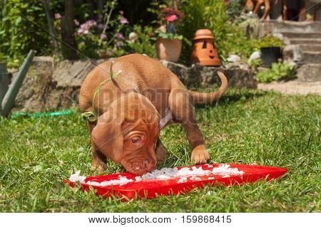 Hungarian hound puppy feeding in the meadow. Summer day dog family. Time for food.