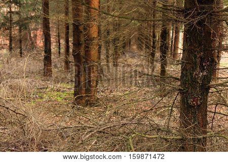 Misty Forest With Spruce Trees