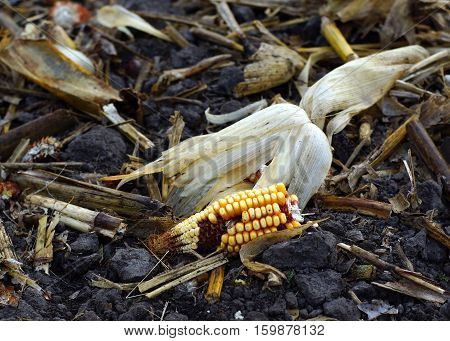 Partial corn cob and husk in field with corn rubble after harvest