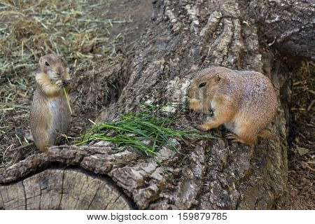 Pair Of Prairie Dogs Eat Green Grass Stalk On Trunk