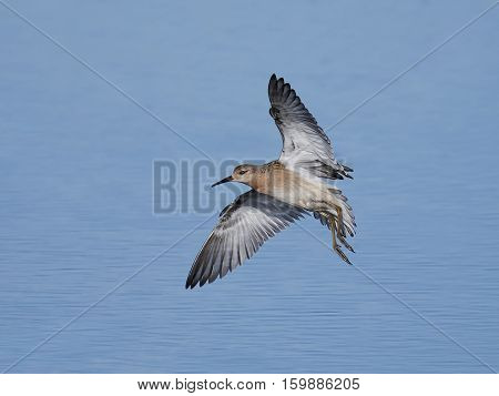 Ruff in flight with blue water in the background