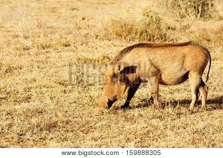 The Common Warthog Sniffing The Grass