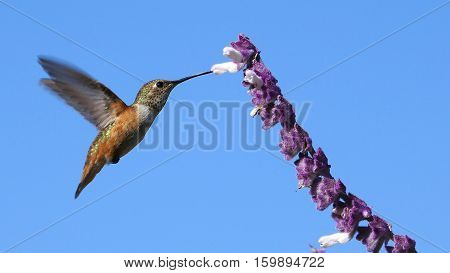 Magnificent Hummingbird And Purple Sage Flower