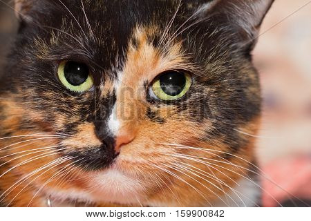 Closeup portrait of a three colored cat with evil gaze and green eyes