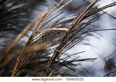 Ornamental grass blowing in the evening wind.