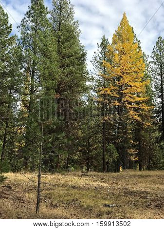 A Western Larch in the Ochoco Mountains in Central Oregon stands out from the other pines as it has gained its fall colors.