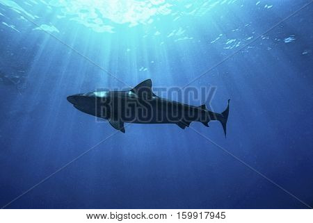 Aliwal Shoal, Indian Ocean, South Africa, dusky shark (Carcharhinus obscurus), low angle view