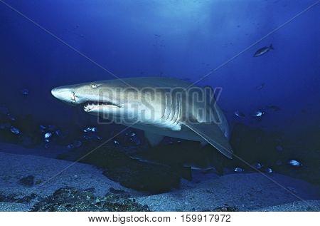 Aliwal Shoal, Indian Ocean, South Africa, sand tiger shark (Carcharias taurus)