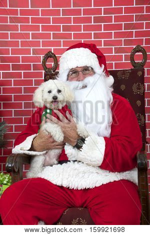 Santa Claus with white long haired small dog sitting on a tatted chair red brick background. Santa Paws.
