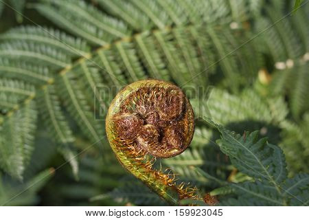 Fiddlehead fern in the process of uncurling.