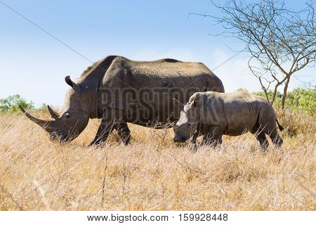 White Rhinoceros With Puppy, South Africa