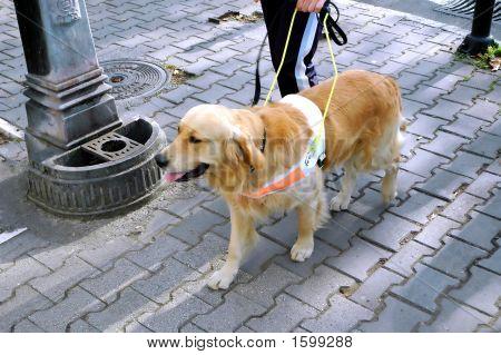 Seeing Eye Dog