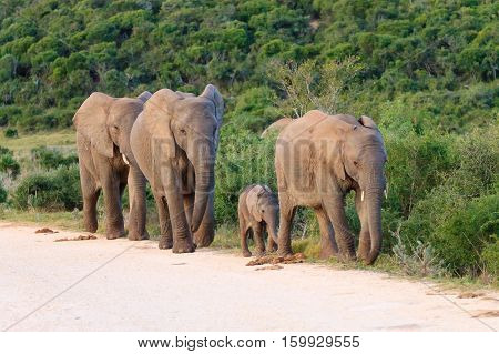Family Of Elephants From South Africa