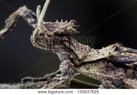 Portrait of Heteropteryx dilatata Malaysian Stick Insect