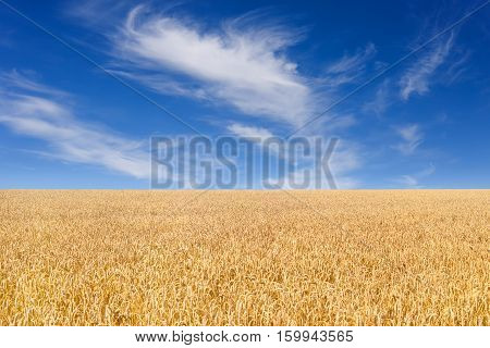 Golden wheat field with blue sky with clouds in background. Meadow of wheat. Nature composition. Beautiful summer landscape. Agriculture. Wheat field ready for harvest