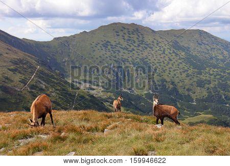 Chamois in nature - Rupicapra Tatras Slovakia
