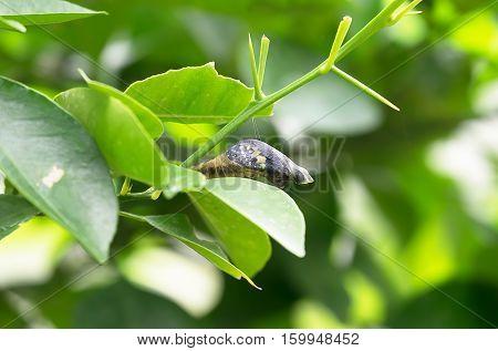 Chrysalis Butterfly on Lemon Tree Green Leaf Background