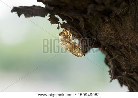 Cicada moulting on tree, Nature Background Concept