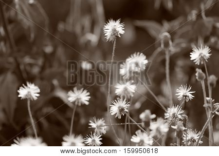 Dried flowers in hot season grasses on ground The meadow of Poaceae Paper Tone