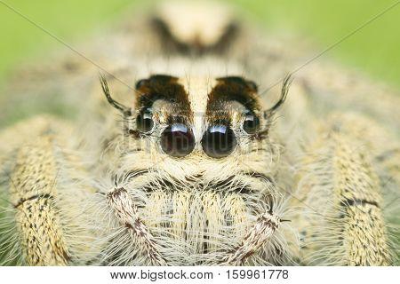 Macro Of Spider (hyllus Diardi Female) Insect