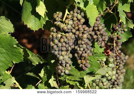 Grapes / In the garden ripen grapes