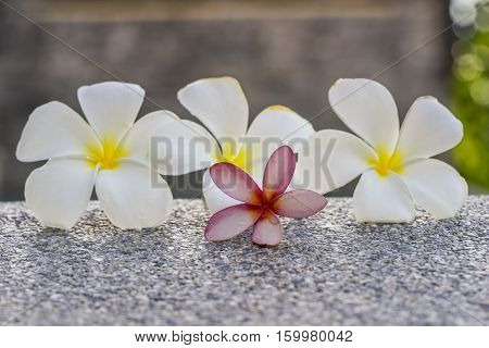 pink and white plumeria on the ground spa - can use to display or montage on product