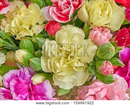 various pale colorful carnation flowers closeup, natural background